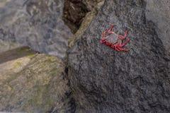 Crabe sur une roche Photo libre de droits