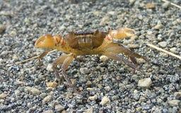Crabe terrestre Images libres de droits