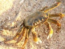 Crabe terrestre Photos libres de droits