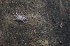 Crabe trois sur la roche dans le rivage de Ténérife photo stock