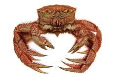 Crabe velu d'isolement sur le blanc Image libre de droits