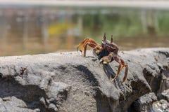 Crabe vivant sur le sable de plage Photographie stock