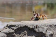 Crabe vivant sur le sable de plage Images stock