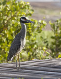 Crabeater bird. This  ungainly bird, found on the island of cayman brac, is a carnivore.  its name, crabeater, follows from its hunting methods.  The bird Royalty Free Stock Photography