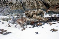 Crabeater del macaco, isole dell'arcipelago di Phi Phi fotografia stock