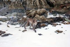Crabeater del macaco, isole dell'arcipelago di Phi Phi fotografie stock libere da diritti