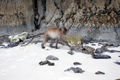 Crabeater del macaco, isole dell'arcipelago di Phi Phi immagini stock