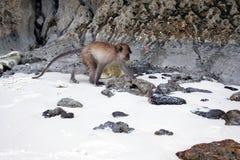Crabeater del macaco, isole dell'arcipelago di Phi Phi fotografie stock