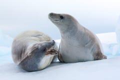 Crabeater-Dichtungen, die Antarktis Lizenzfreie Stockfotos