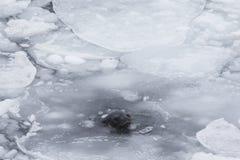Crabeater foka Zdjęcie Royalty Free