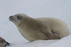 Crabeater foka która kłama na lodzie z jego oczami Zdjęcia Royalty Free