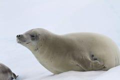 Crabeater foka która kłama na lodzie Fotografia Stock