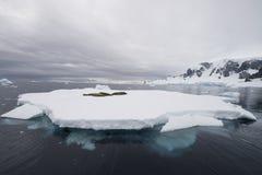 Crabeater foka na górze lodowa Zdjęcia Royalty Free