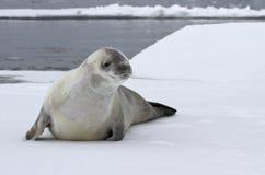Crabeater foka na lodowym floe Fotografia Stock