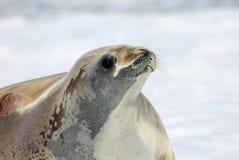 Crabeater foka na lodowym floe, Antarktyczny półwysep Zdjęcie Stock