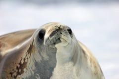 Crabeater foka na lodowym floe, Antarktyczny półwysep Obrazy Royalty Free