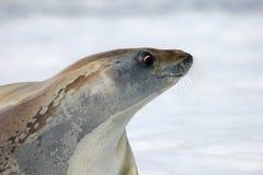 Crabeater foka na lodowym floe, Antarktyczny półwysep Fotografia Stock