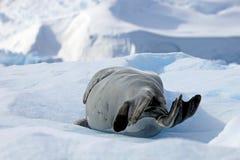 Crabeater foka na lodowym floe, Antarktyczny półwysep Obrazy Stock