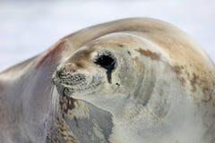 Crabeater foka na lodowym floe, Antarktyczny półwysep Zdjęcie Royalty Free