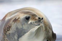 Crabeater foka na lodowym floe, Antarktyczny półwysep Fotografia Royalty Free
