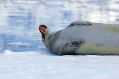 Crabeater foka na lodowym floe, Antarktyczny półwysep Zdjęcia Royalty Free