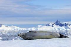Crabeater foka na lodowym floe, Antarktyczny półwysep Zdjęcia Stock