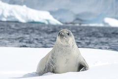 Crabeater foka na lodzie Obraz Stock