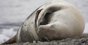 Crabeater foka na plaży Obrazy Royalty Free