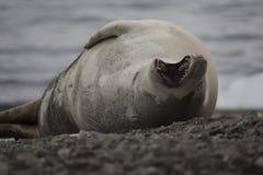 Crabeater foka na plaży Fotografia Royalty Free