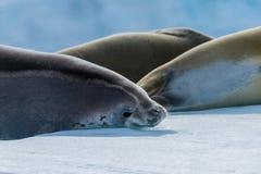Crabeater foka patrzeje kamerę obok inny Fotografia Stock