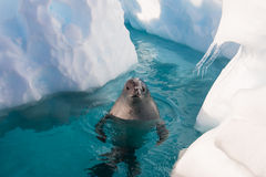 Crabeater foka w wodzie Obraz Royalty Free
