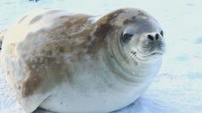 Crabeater foki kłama na zamarzniętym lodzie cieśnina w Antarctica zbiory