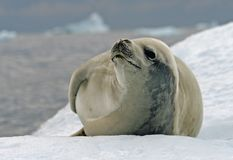 Crabeater Seal 10 Royalty Free Stock Image