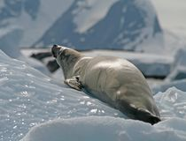 Crabeater seal 15 Stock Photos