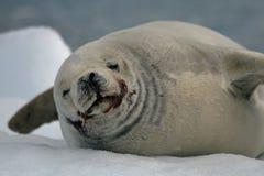 Crabeater Seal Royalty Free Stock Photos