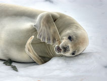 Crabeater seal royalty free stock image