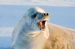 Crabeater seal. Loosing the fur at antarctica Stock Images
