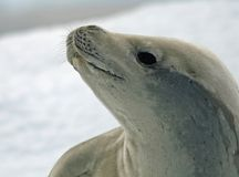 Crabeater Seal 8 Royalty Free Stock Photos