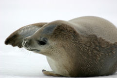 Crabeater Seal Royalty Free Stock Photos