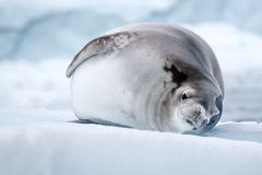 Crabeater Seal, Antarctica Royalty Free Stock Photography