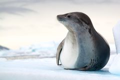 Crabeater Seal, Antarctica. Crabeater Seal on Iceberg, Antartica Royalty Free Stock Image