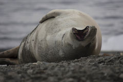 Crabeater seal on beach