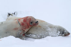 Crabeater seal during courtship Stock Image