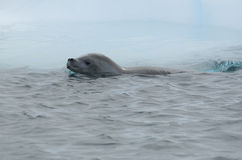 Crabeater seal from floating iceberg Royalty Free Stock Photography