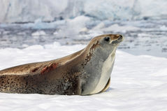 Crabeater seal on ice floe, Antarctic Peninsula Royalty Free Stock Images