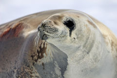Crabeater seal on ice floe, Antarctic Peninsula Stock Photos