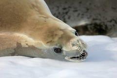 Crabeater seal on ice floe, Antarctic Peninsula Stock Images