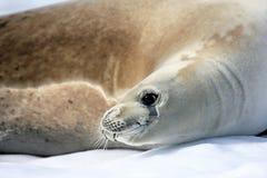 Crabeater seal on ice floe, Antarctic Peninsula Royalty Free Stock Photo
