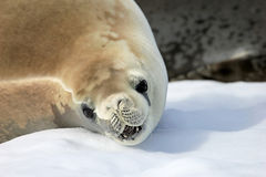 Crabeater seal on ice floe, Antarctic Peninsula Stock Image