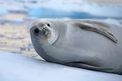 Crabeater seal on ice floe, Antarctic Peninsula. Antarctica Royalty Free Stock Photos